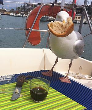 Mouette gourmande de Jacques R de Brest